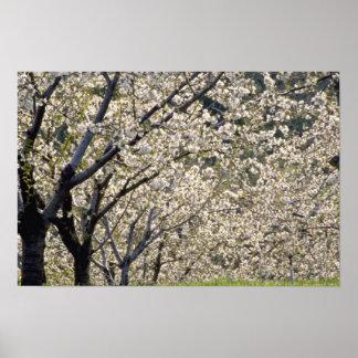 white Fruit trees in bloom, Hood River, Oregon flo Print