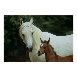 white full blood Arab with brown foal Print