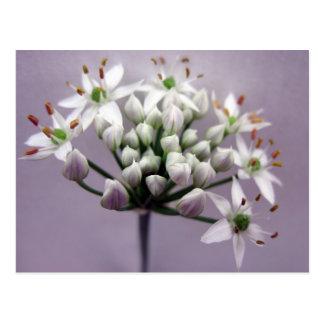 White Garlic Chive Blossoms on Purple Postcard
