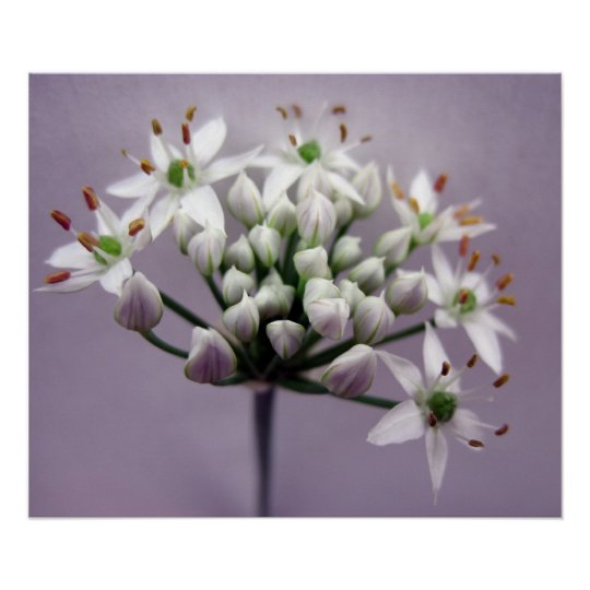 White Garlic Chive Blossoms on Purple Poster