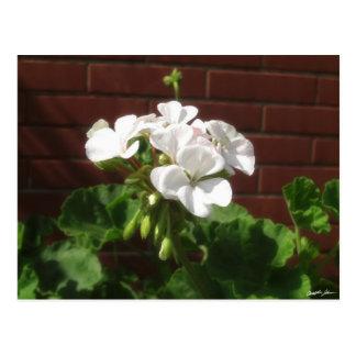 White Geraniums 6 Postcard
