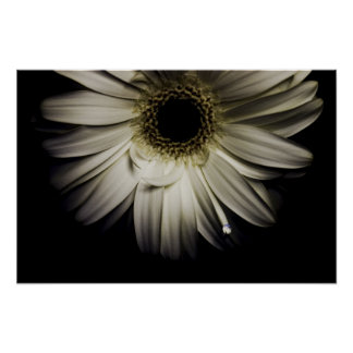 White Gerber Daisy Posters