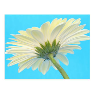 White Gerbera Daisy on Blue Postcard