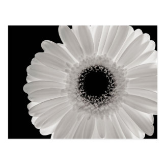 White Gerbera Flower Postcard