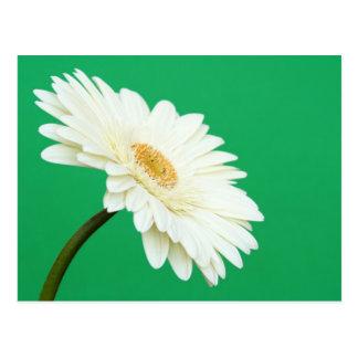 White Gerbera on Green Postcard