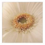 White germini close up acrylic print
