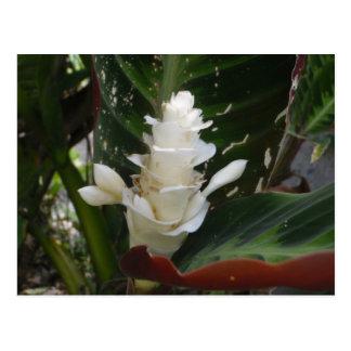 White Ginger Flower Postcard