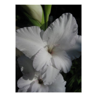 White Gladiola Bloom Poster