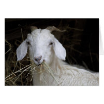 White Goat - Cute Animal Photography Card