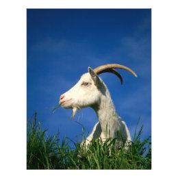 White goat flyer