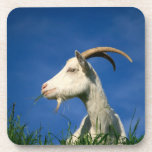 White goat grazing coasters