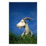 White goat grazing photo print