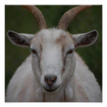 White Goat Print
