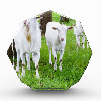 White goats on grass with tree trunks acrylic award