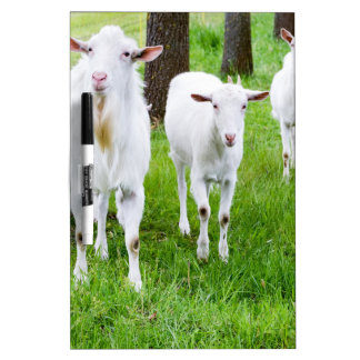 White goats on grass with tree trunks Dry-Erase board