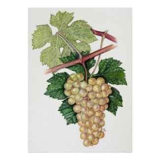 White Grape --  Sue Abonyi Poster