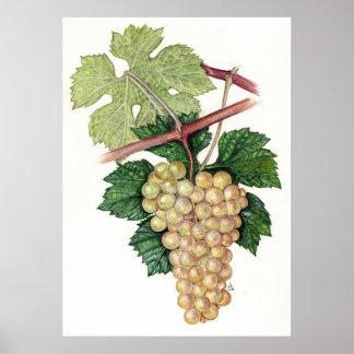 White Grape --  Sue Abonyi Poster