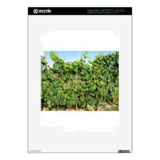 White grapes in a vineyard iPad 3 decals