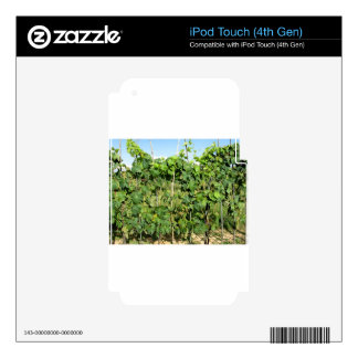White grapes in a vineyard iPod touch 4G decal