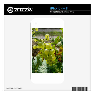 White grapes in a vineyard skins for the iPhone 4