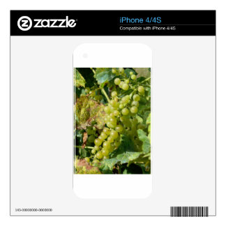 White grapes in a vineyard skins for the iPhone 4S