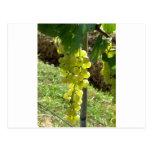 White Grapes on the Vine Postcard