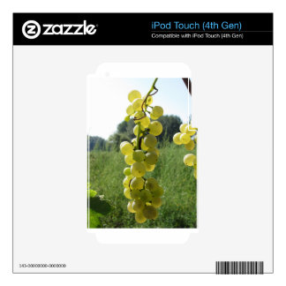 White grapes on the vine . Tuscany, Italy Decal For iPod Touch 4G