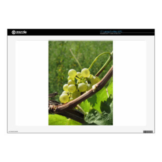 White grapes on the vine . Tuscany, Italy Decals For Laptops