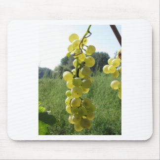 White grapes on the vine . Tuscany, Italy Mouse Pad