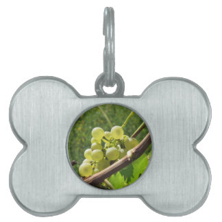 White grapes on the vine . Tuscany, Italy Pet ID Tag