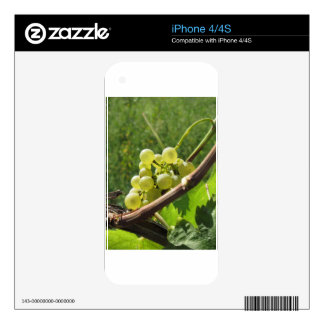 White grapes on the vine . Tuscany, Italy Skins For The iPhone 4