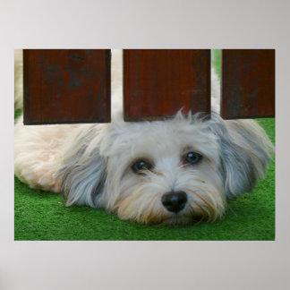 white havanese dog checks up under garden gate poster