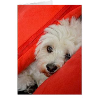 white havanese dog lies on orange cushions cards