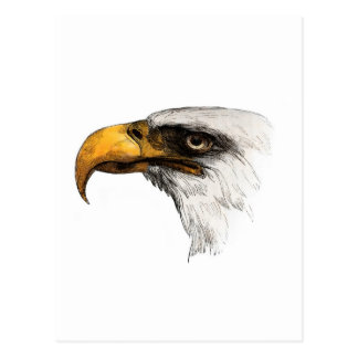 White headed Bald Eagle Postcard