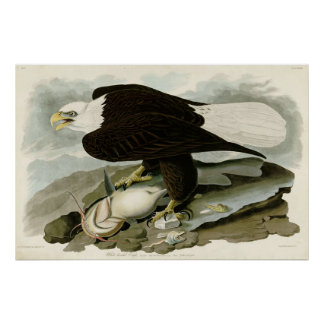 White Headed Eagle Birds of America by James Audub Poster