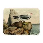White Headed Gull Magnet
