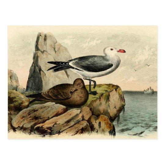 White Headed Gull Postcard