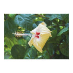 White Hibiscus Rosa Sinensis China Rose Mallow Stretched Canvas Print