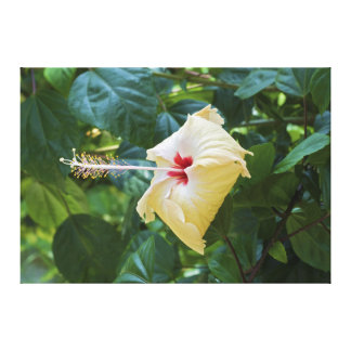 White Hibiscus Rosa Sinensis China Rose Mallow Canvas Print