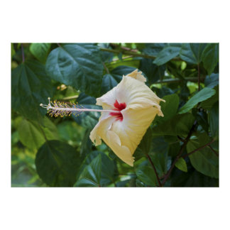White Hibiscus Rosa Sinensis China Rose Mallow Poster