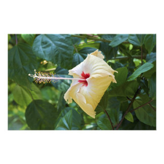 White Hibiscus Rosa Sinensis China Rose Mallow Stationery Design