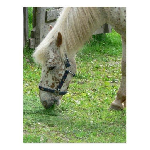 White Horse Close Up Postcard