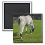 white horse grazing head down in grass refrigerator magnets