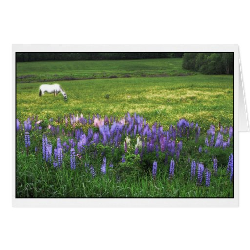 White Horse in Lupine Field Card