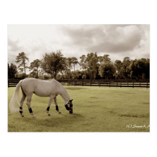 white horse in pasture grazing old style postcard