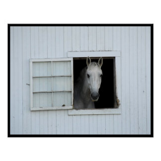 White Horse in Window of a White Barn Poster