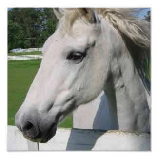 White Horse Poster Print