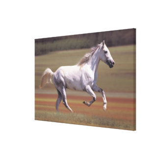 White horse running in field canvas print