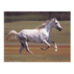 White horse running in field post card
