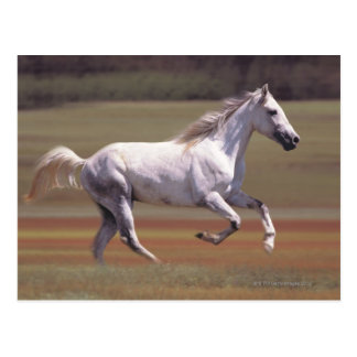 White horse running in field postcard